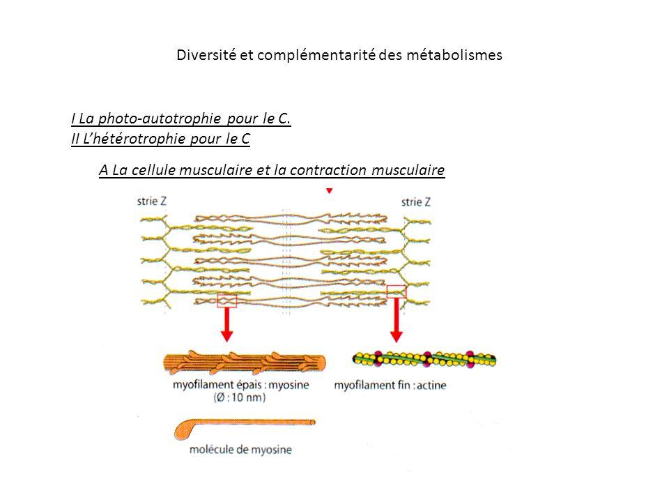 Diversité et complémentarité des métabolismes sarcomère strie Z myosine actine
