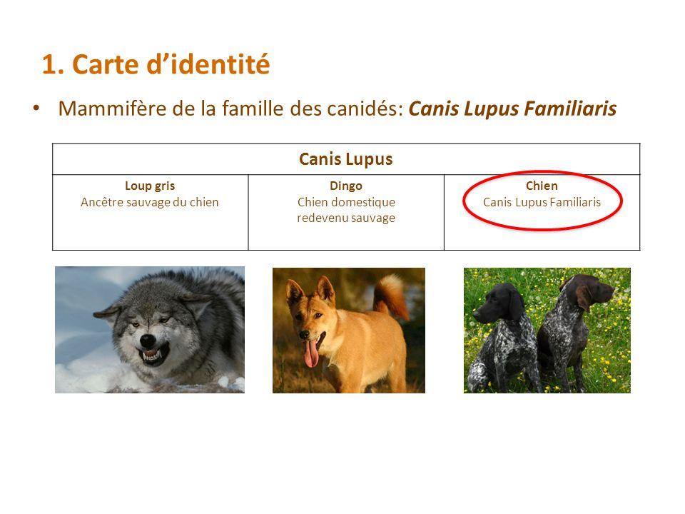1. Carte didentité Mammifère de la famille des canidés: Canis Lupus Familiaris Canis Lupus Loup gris Ancêtre sauvage du chien Dingo Chien domestique r
