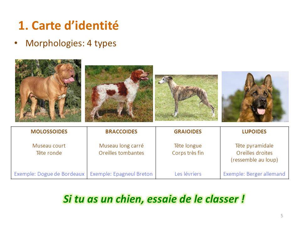 1. Carte didentité 5 MOLOSSOIDES Museau court Tête ronde Exemple: Dogue de Bordeaux BRACCOIDES Museau long carré Oreilles tombantes Exemple: Epagneul