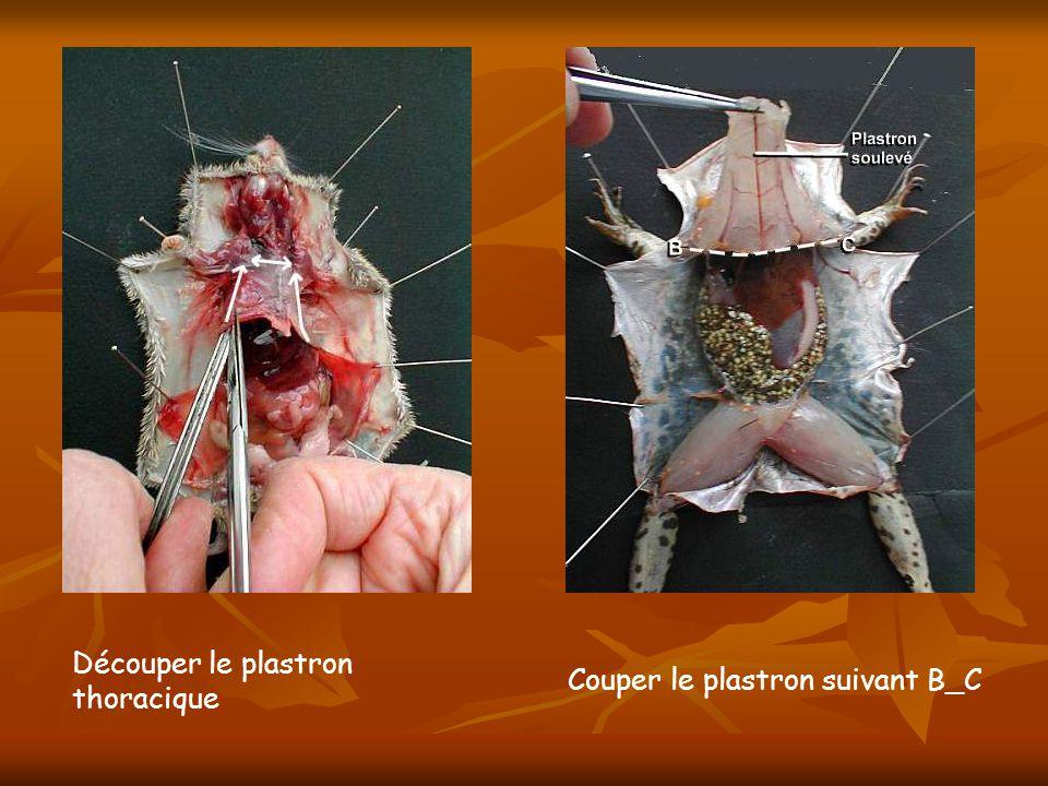 Découper le plastron thoracique Couper le plastron suivant B_C