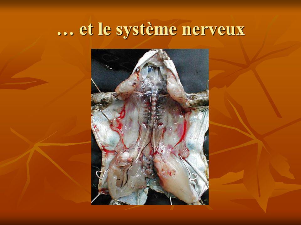 … et le système nerveux