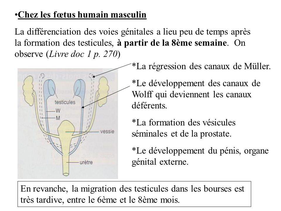 Chez les fœtus humain masculin La différenciation des voies génitales a lieu peu de temps après la formation des testicules, à partir de la 8ème semai