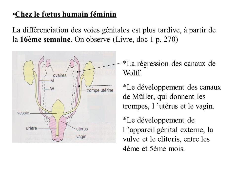 Chez le fœtus humain féminin La différenciation des voies génitales est plus tardive, à partir de la 16ème semaine. On observe (Livre, doc 1 p. 270) *