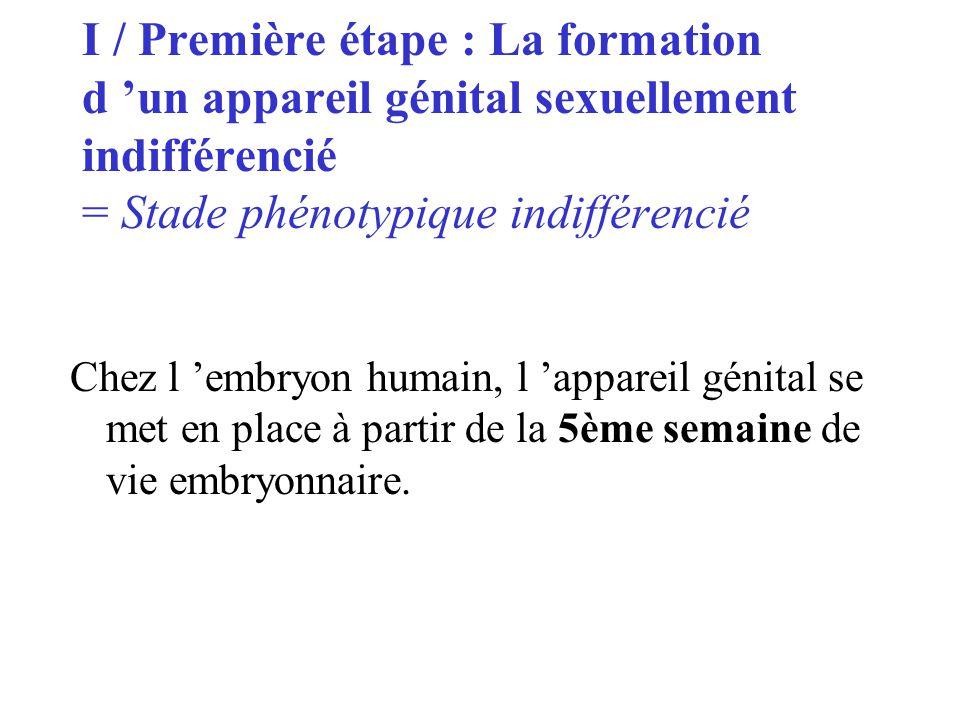 I / Première étape : La formation d un appareil génital sexuellement indifférencié = Stade phénotypique indifférencié Chez l embryon humain, l apparei