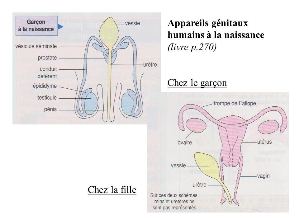 Appareils génitaux humains à la naissance (livre p.270) Chez le garçon Chez la fille