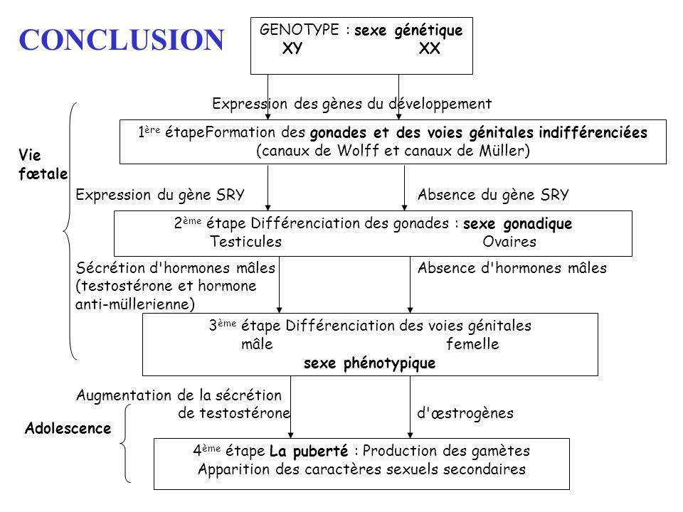 CONCLUSION Expression des gènes du développement Expression du gène SRYAbsence du gène SRY Sécrétion d'hormones mâlesAbsence d'hormones mâles (testost