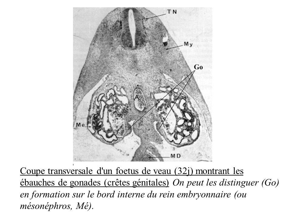 Coupe transversale d'un foetus de veau (32j) montrant les ébauches de gonades (crêtes génitales) On peut les distinguer (Go) en formation sur le bord