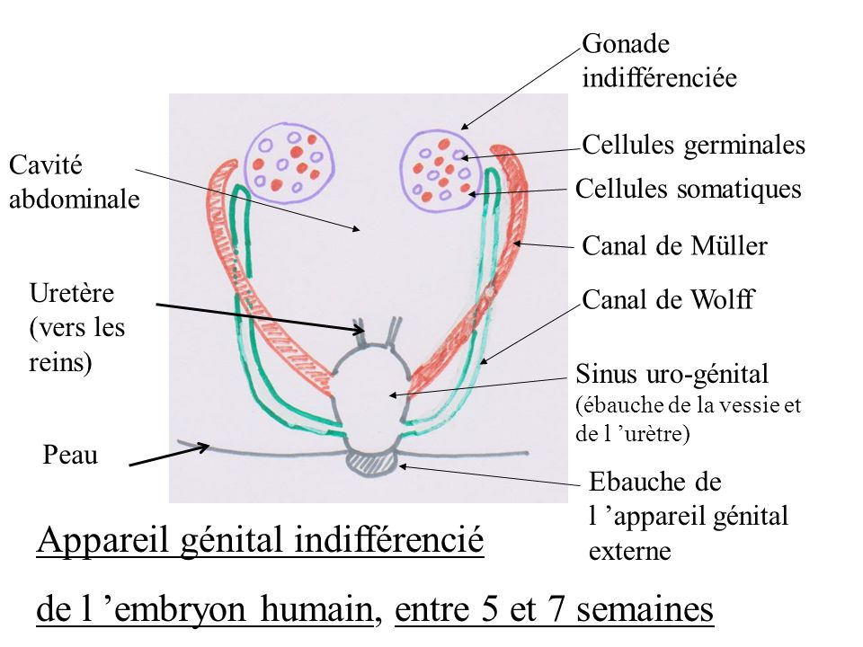 Gonade indifférenciée Cellules germinales Cellules somatiques Cavité abdominale Canal de Müller Canal de Wolff Ebauche de l appareil génital externe A