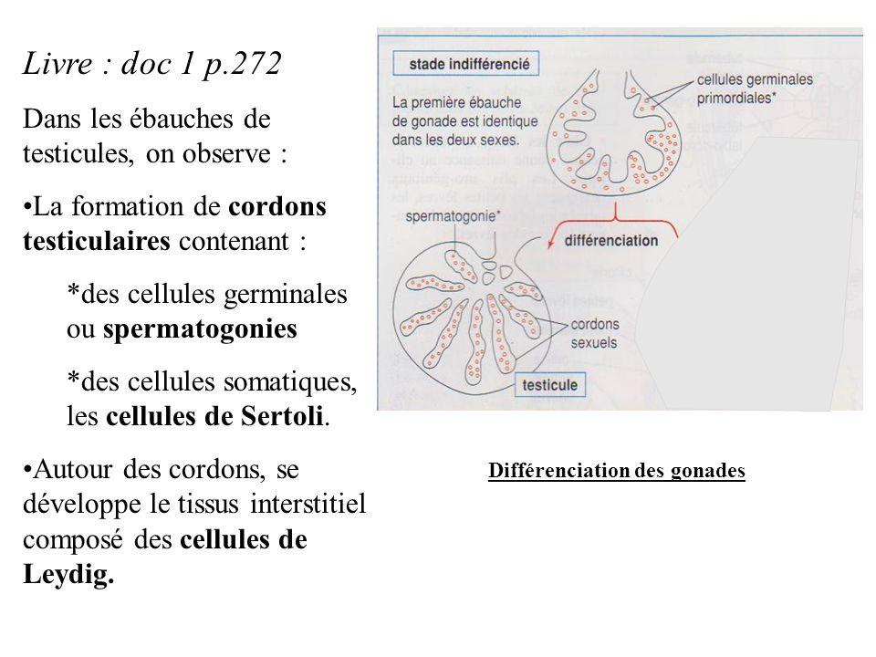 Livre : doc 1 p.272 Dans les ébauches de testicules, on observe : La formation de cordons testiculaires contenant : *des cellules germinales ou sperma