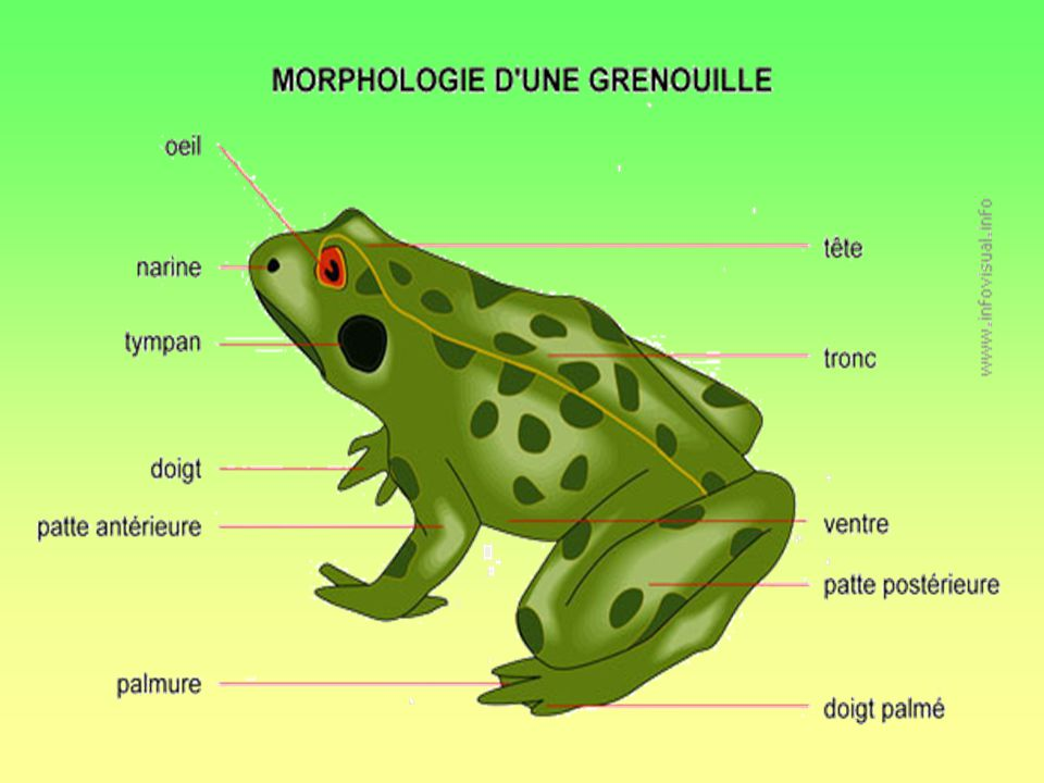 Alors, je te présente un crapaud. Son nom est le Crapaud dAmérique. Cest un gros crapaud dont la peau est verruqueuse. Sa taille maximale dun adulte e