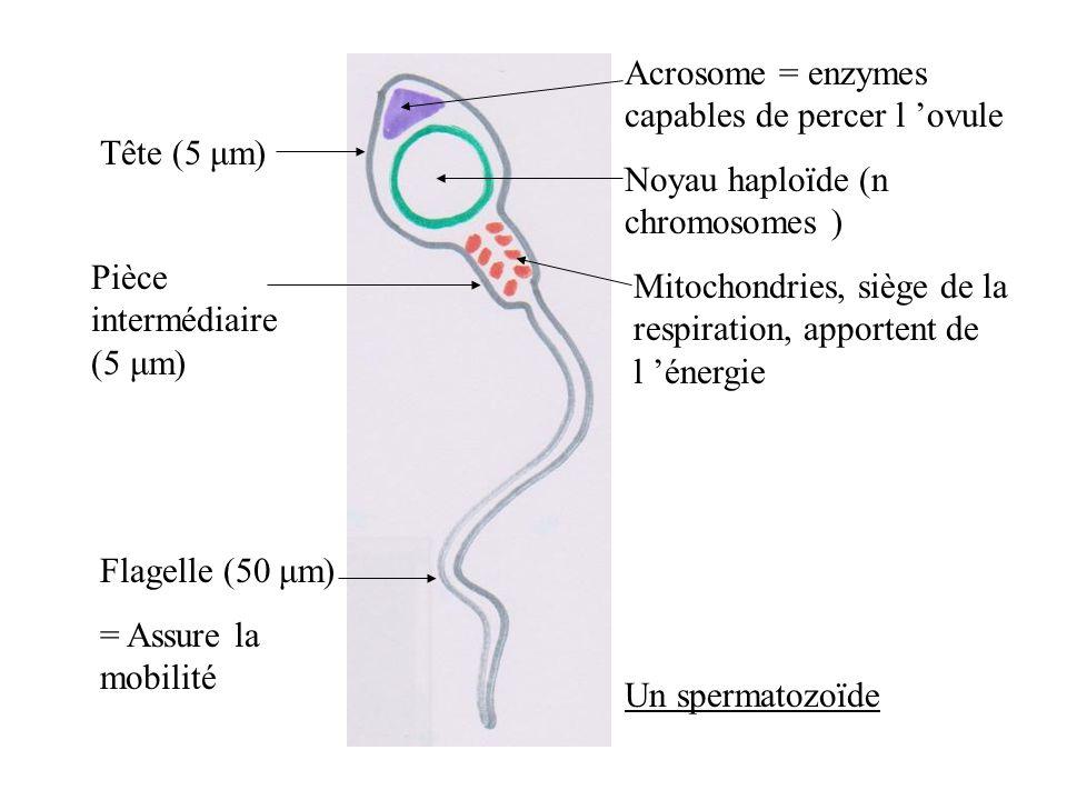 Tête (5 μm) Pièce intermédiaire (5 μm) Flagelle (50 μm) = Assure la mobilité Acrosome = enzymes capables de percer l ovule Noyau haploïde (n chromosomes ) Mitochondries, siège de la respiration, apportent de l énergie Un spermatozoïde