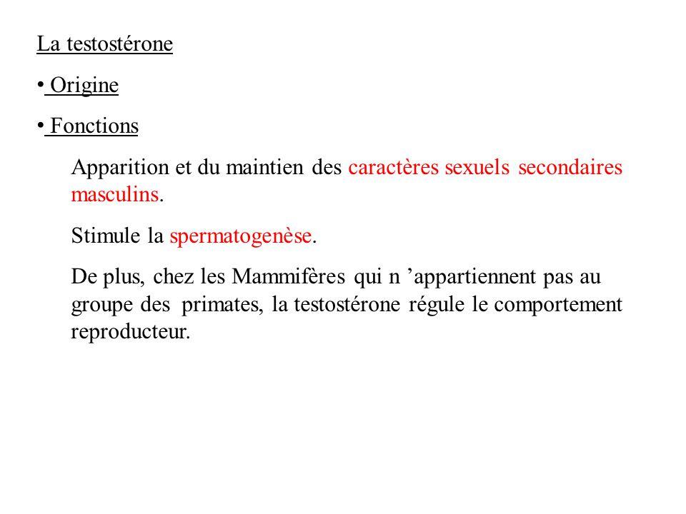 La testostérone Origine Fonctions Apparition et du maintien des caractères sexuels secondaires masculins.