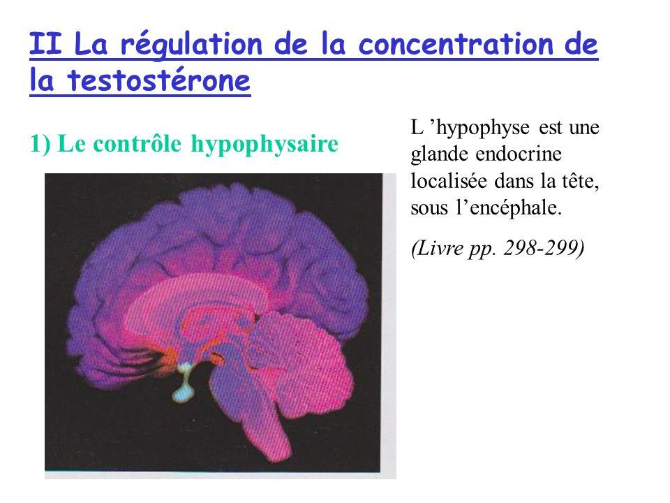 II La régulation de la concentration de la testostérone 1) Le contrôle hypophysaire L hypophyse est une glande endocrine localisée dans la tête, sous lencéphale.