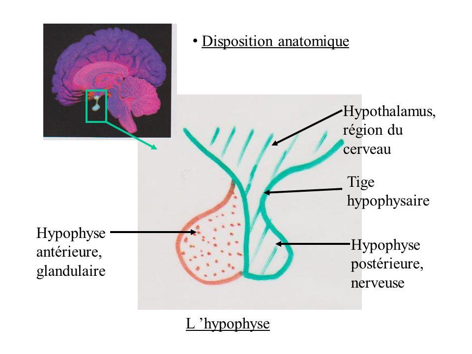 Hypothalamus, région du cerveau Tige hypophysaire Hypophyse postérieure, nerveuse Hypophyse antérieure, glandulaire L hypophyse Disposition anatomique