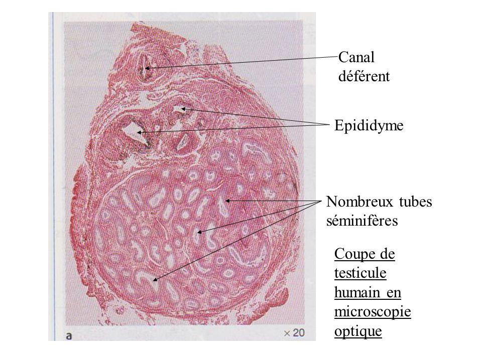 Coupe de testicule humain en microscopie optique Nombreux tubes séminifères Epididyme Canal déférent