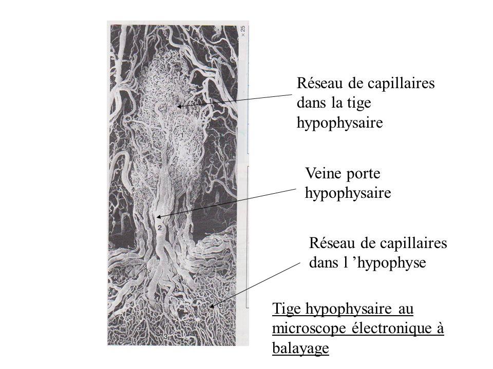 Réseau de capillaires dans la tige hypophysaire Veine porte hypophysaire Réseau de capillaires dans l hypophyse Tige hypophysaire au microscope électronique à balayage