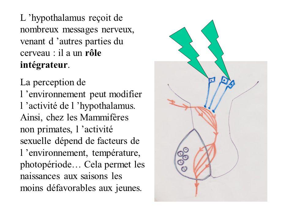 L hypothalamus reçoit de nombreux messages nerveux, venant d autres parties du cerveau : il a un rôle intégrateur.