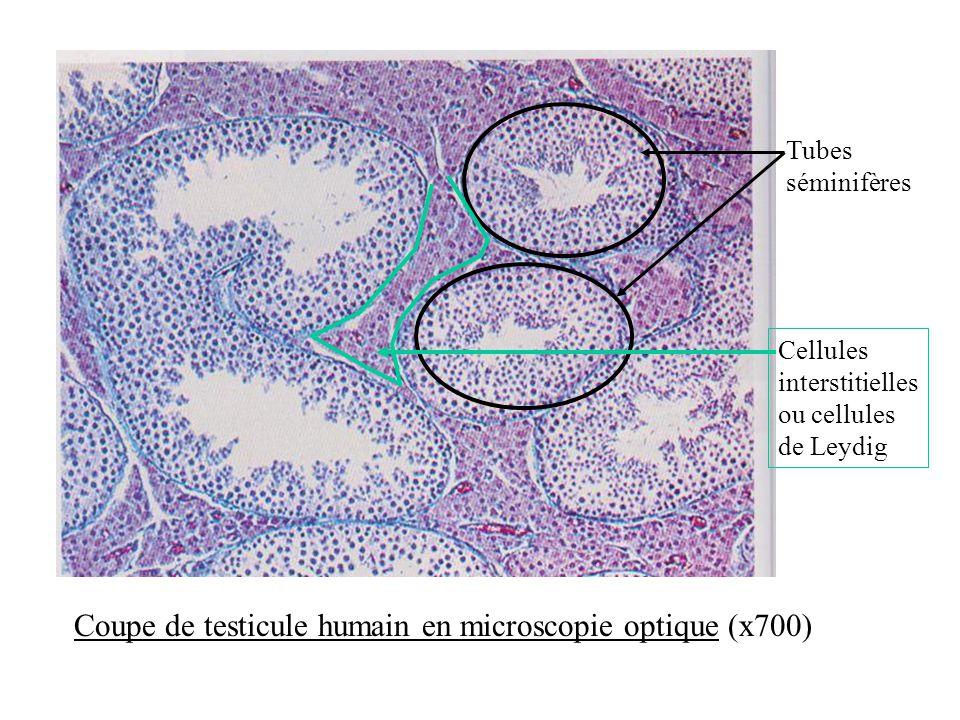 Tubes séminifères Cellules interstitielles ou cellules de Leydig Coupe de testicule humain en microscopie optique (x700)