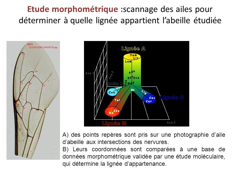 Etude morphométrique :scannage des ailes pour déterminer à quelle lignée appartient labeille étudiée A) des points repères sont pris sur une photograp