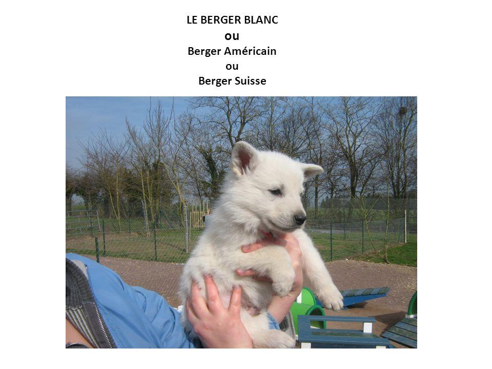 LE BERGER BLANC ou Berger Américain ou Berger Suisse