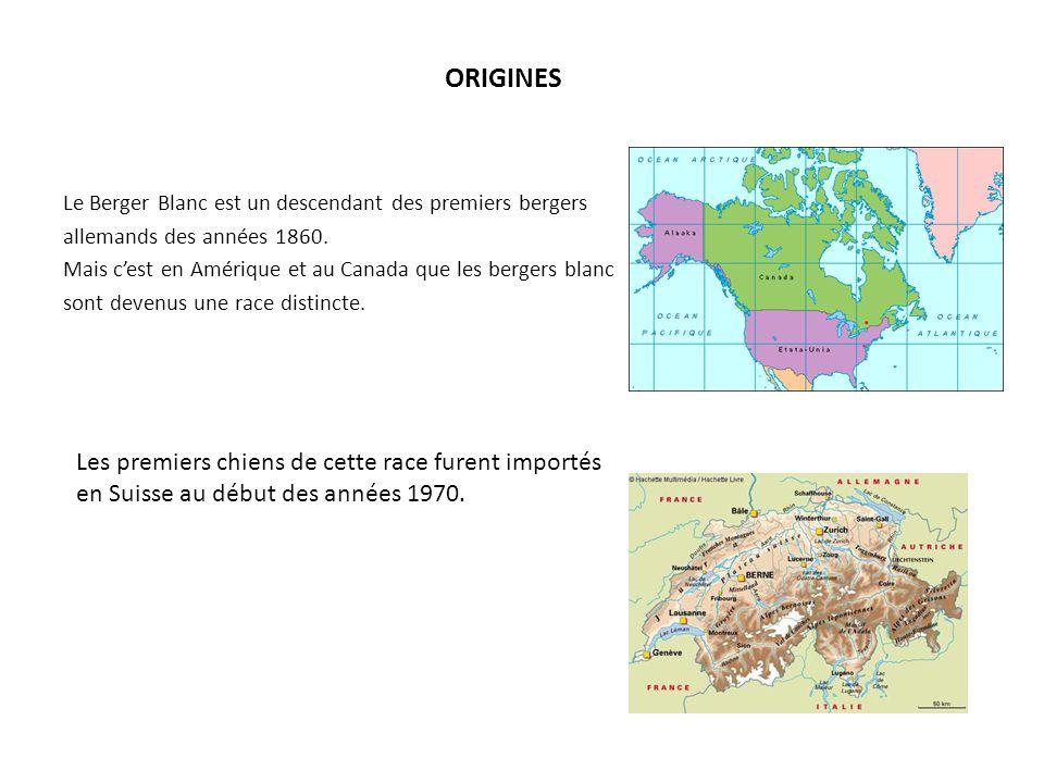 ORIGINES Le Berger Blanc est un descendant des premiers bergers allemands des années 1860. Mais cest en Amérique et au Canada que les bergers blanc so