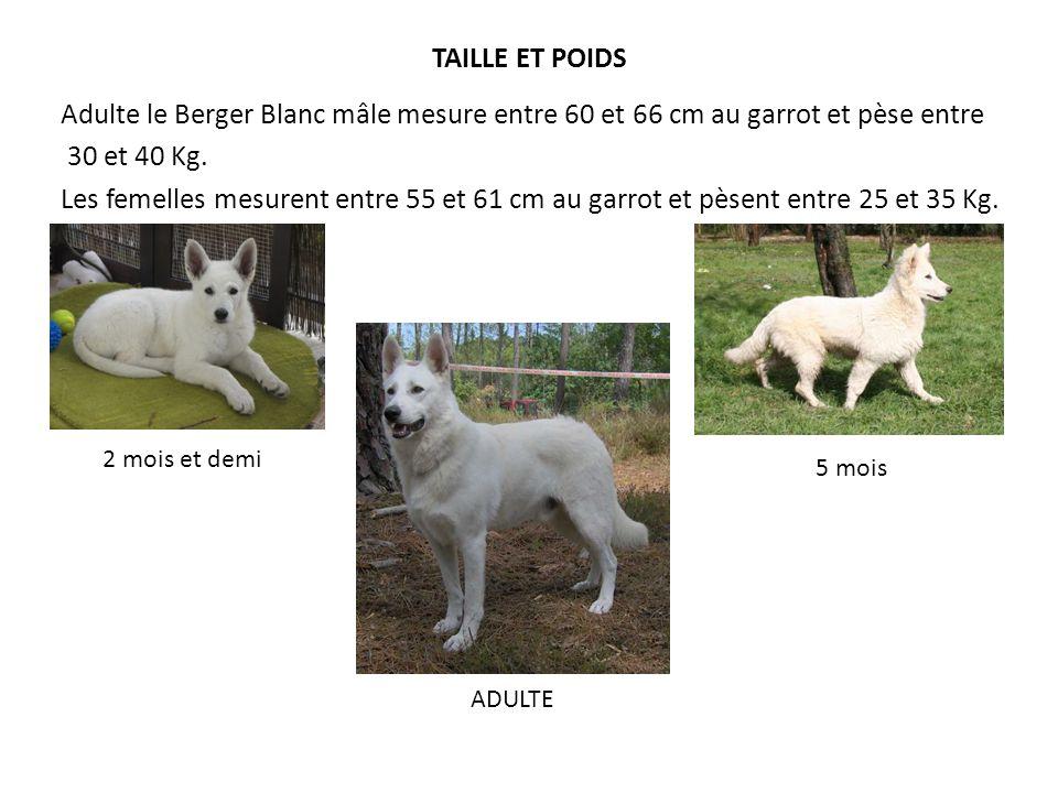 TAILLE ET POIDS Adulte le Berger Blanc mâle mesure entre 60 et 66 cm au garrot et pèse entre 30 et 40 Kg. Les femelles mesurent entre 55 et 61 cm au g