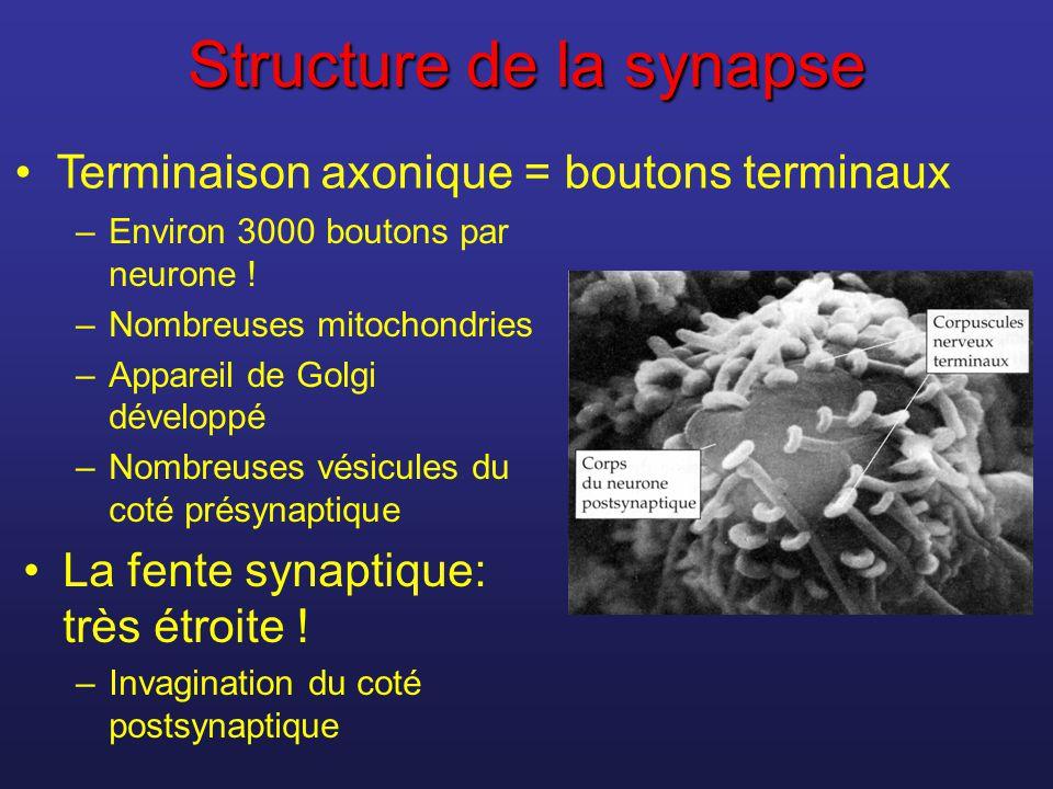 Structure de la synapse –Environ 3000 boutons par neurone ! –Nombreuses mitochondries –Appareil de Golgi développé –Nombreuses vésicules du coté présy