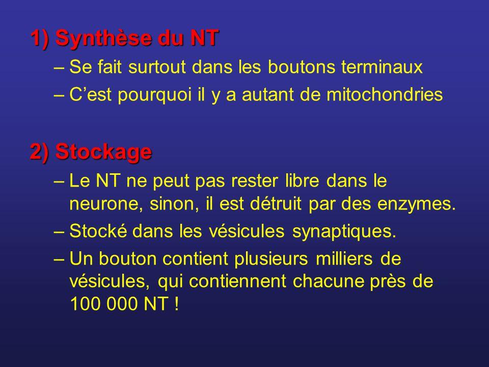 1)Synthèse du NT 1) Synthèse du NT –Se fait surtout dans les boutons terminaux –Cest pourquoi il y a autant de mitochondries 2) Stockage –Le NT ne peu
