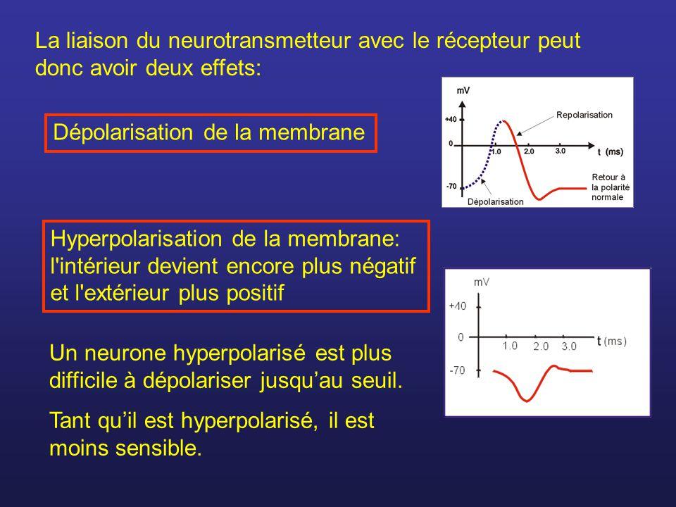 La liaison du neurotransmetteur avec le récepteur peut donc avoir deux effets: Dépolarisation de la membrane Hyperpolarisation de la membrane: l'intér
