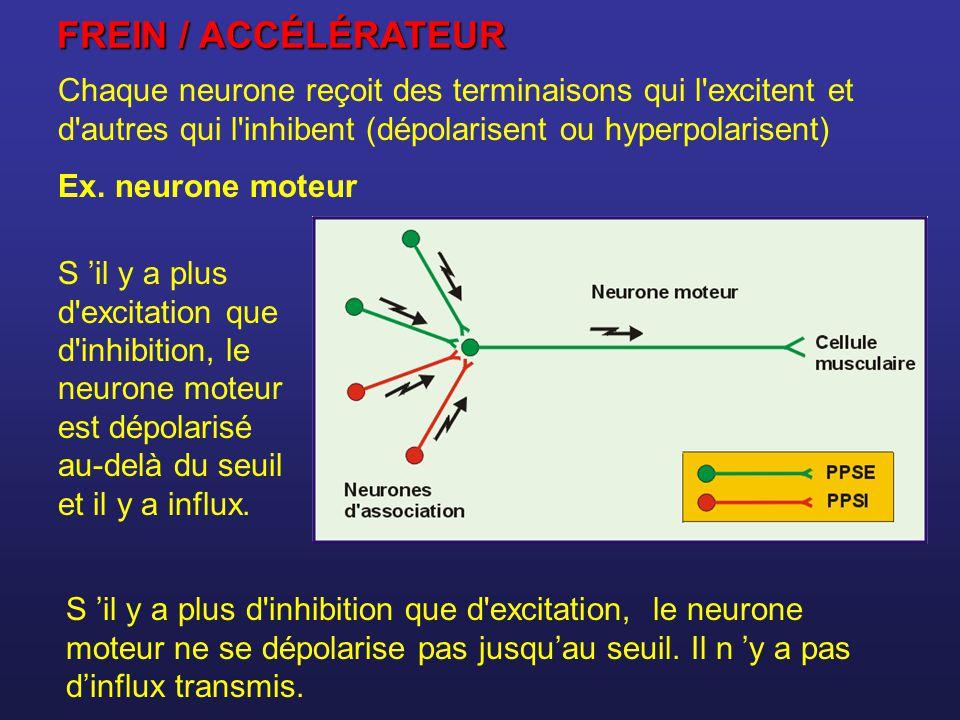 Chaque neurone reçoit des terminaisons qui l'excitent et d'autres qui l'inhibent (dépolarisent ou hyperpolarisent) Ex. neurone moteur S il y a plus d'