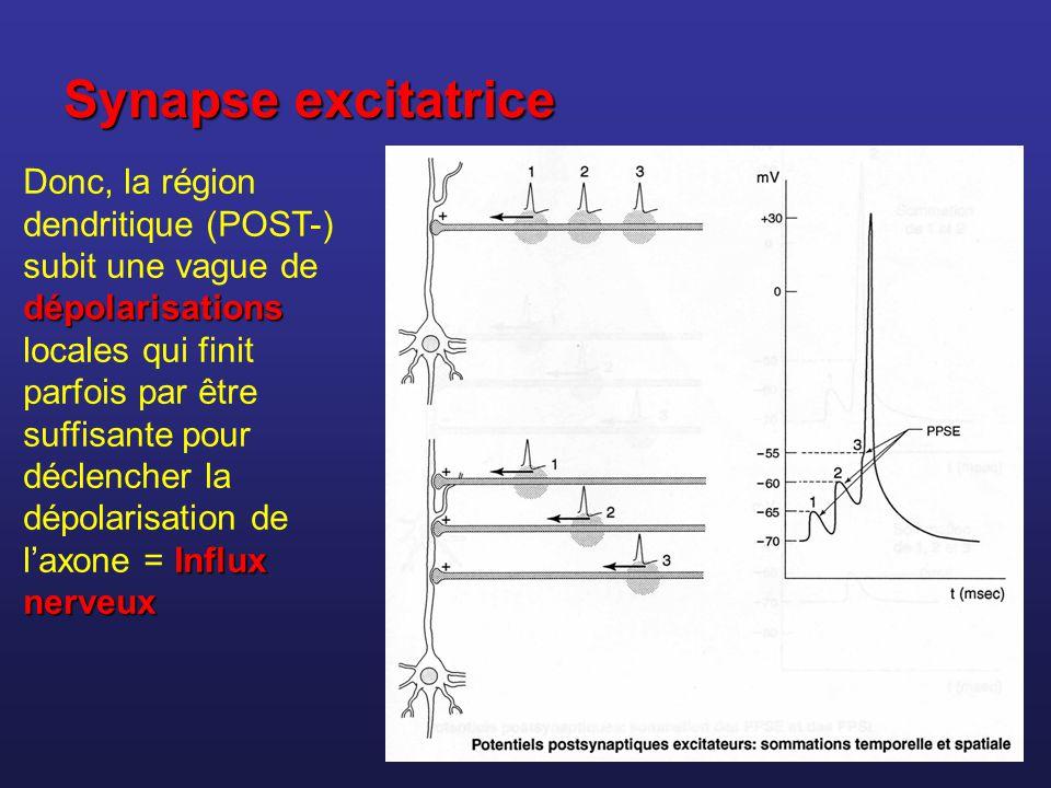 Synapse excitatrice dépolarisations Influx nerveux Donc, la région dendritique (POST-) subit une vague de dépolarisations locales qui finit parfois pa