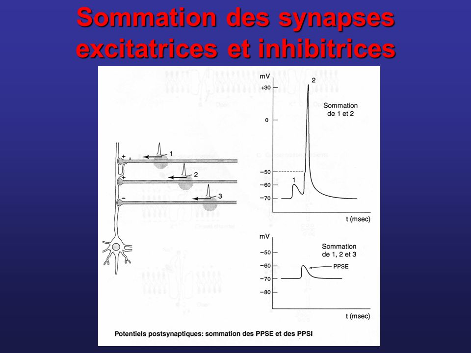 Sommation des synapses excitatrices et inhibitrices