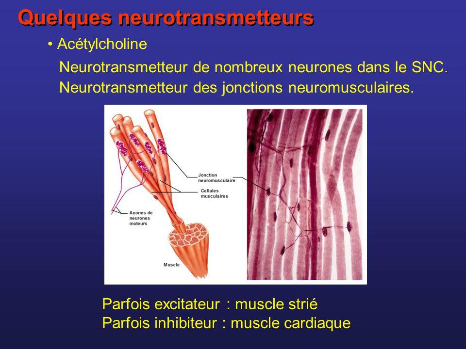 Acétylcholine Neurotransmetteur de nombreux neurones dans le SNC. Neurotransmetteur des jonctions neuromusculaires. Parfois excitateur : muscle strié