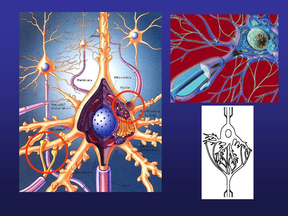 Synapse inhibitrice Vague dhyperpolarisation