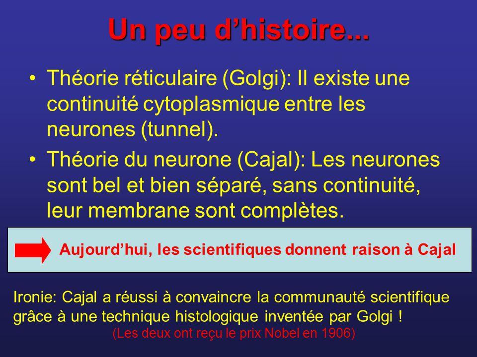 Un peu dhistoire... Théorie réticulaire (Golgi): Il existe une continuité cytoplasmique entre les neurones (tunnel). Théorie du neurone (Cajal): Les n