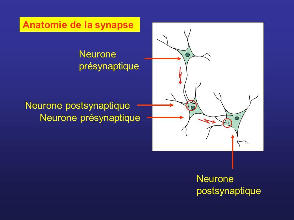 Acétylcholine Neurotransmetteur de nombreux neurones dans le SNC.