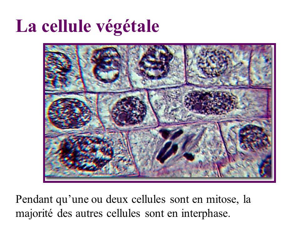 La cellule végétale Pendant quune ou deux cellules sont en mitose, la majorité des autres cellules sont en interphase.