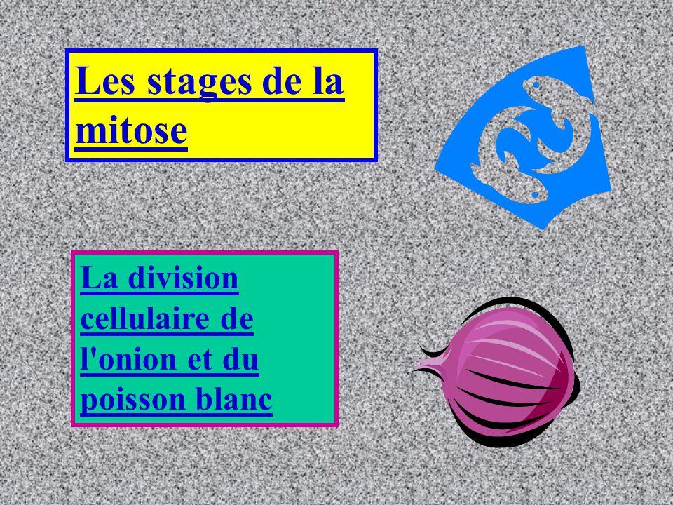 Les stages de la mitose La division cellulaire de l'onion et du poisson blanc