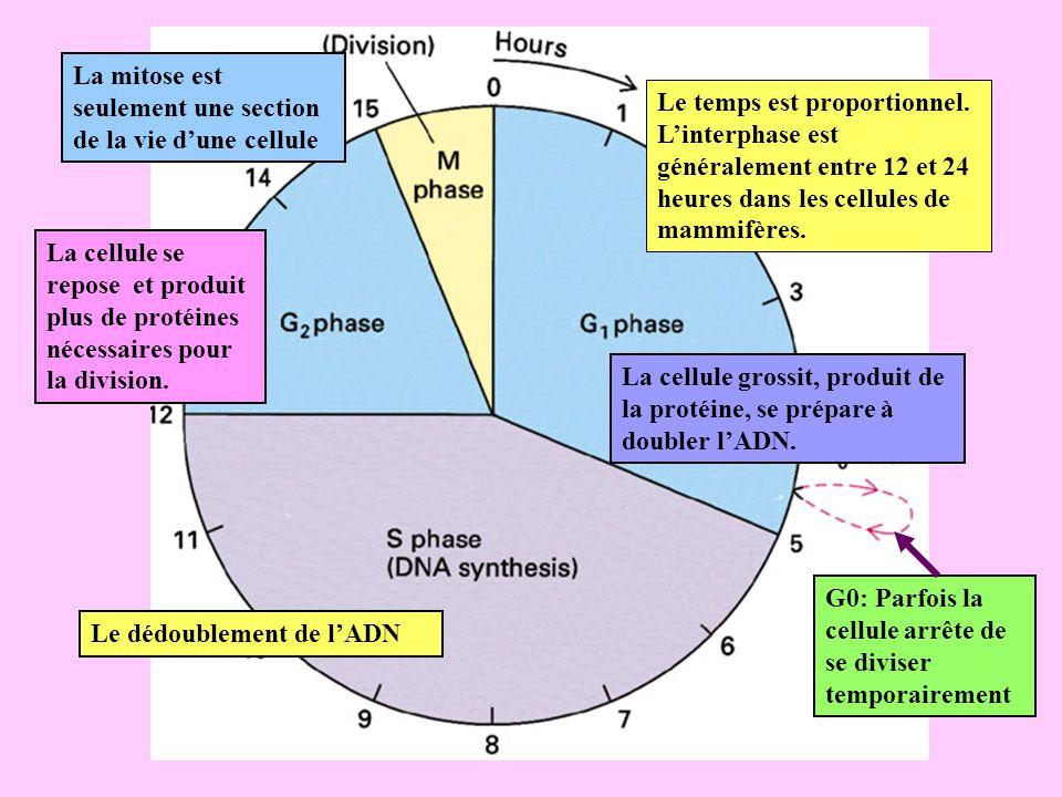 Le temps est proportionnel. Linterphase est généralement entre 12 et 24 heures dans les cellules de mammifères. La mitose est seulement une section de