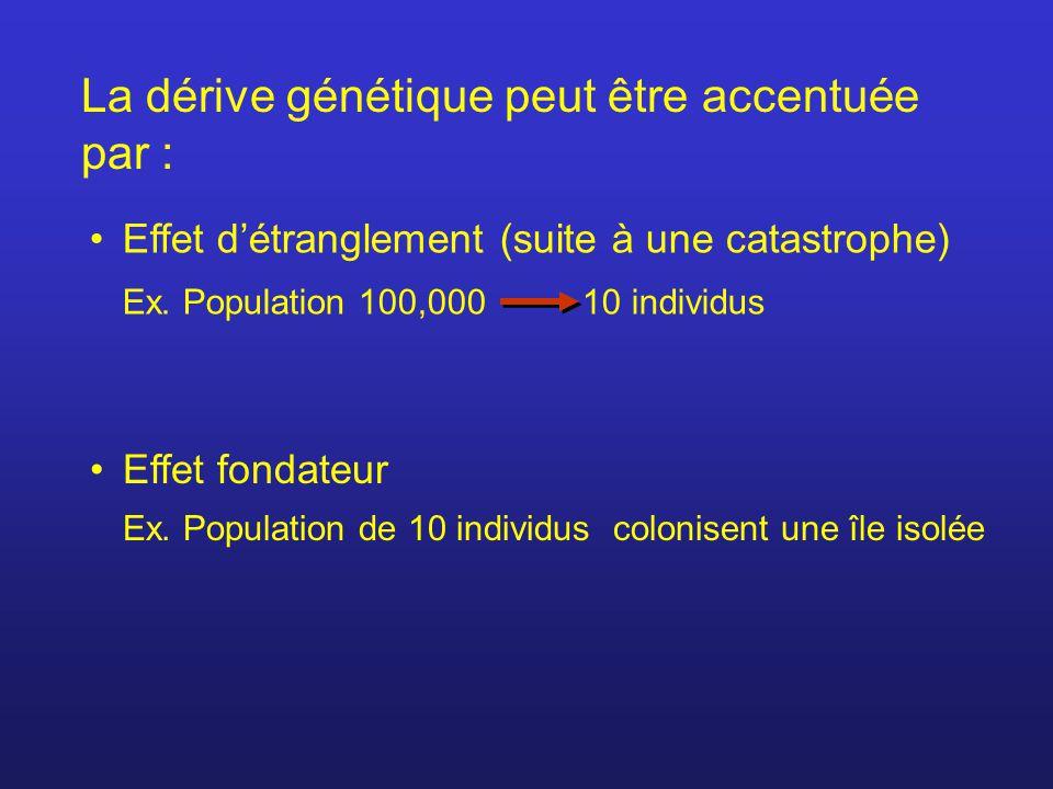 La dérive génétique peut être accentuée par : Effet détranglement (suite à une catastrophe) Ex. Population 100,000 10 individus Effet fondateur Ex. Po