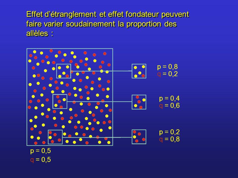 Effet détranglement et effet fondateur peuvent faire varier soudainement la proportion des allèles : p = 0,8 q = 0,2 p = 0,4 q = 0,6 p = 0,2 q = 0,8 p