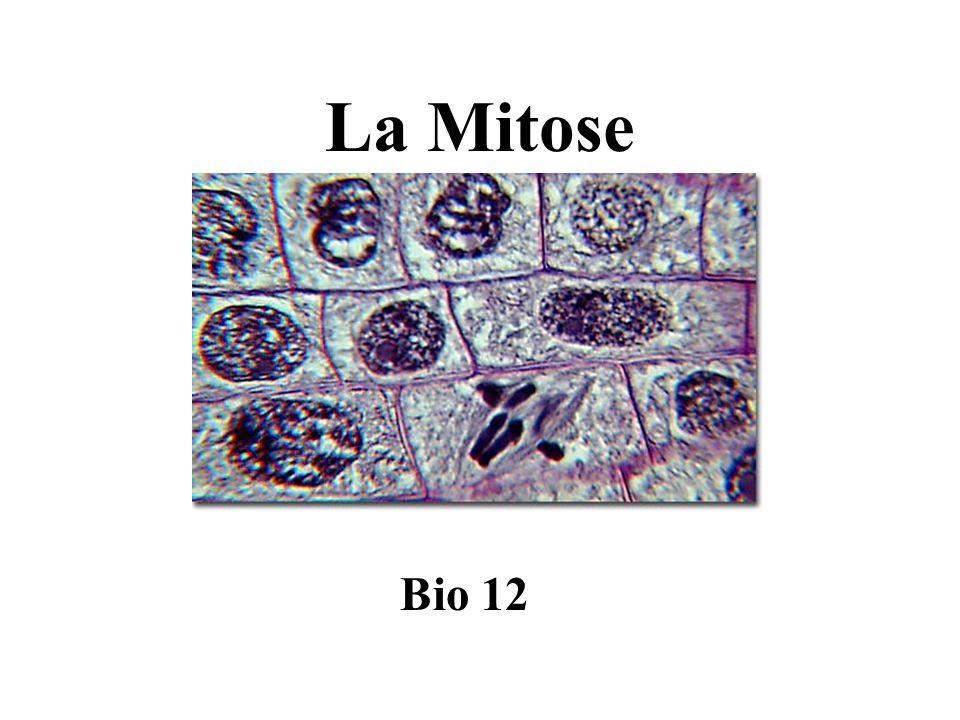 Étapes de la mitose La mitose est divisée en 4 étapes: (PMAT) (1) prophase (2) métaphase (3) anaphase (4) télophase La cellule mère est diploïde avec 23 paires de chromosomes (46).