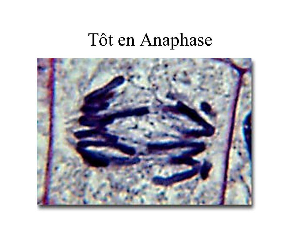Tôt en Anaphase