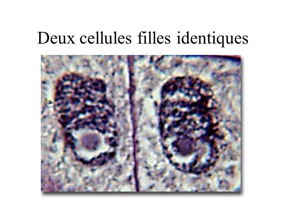 Deux cellules filles identiques