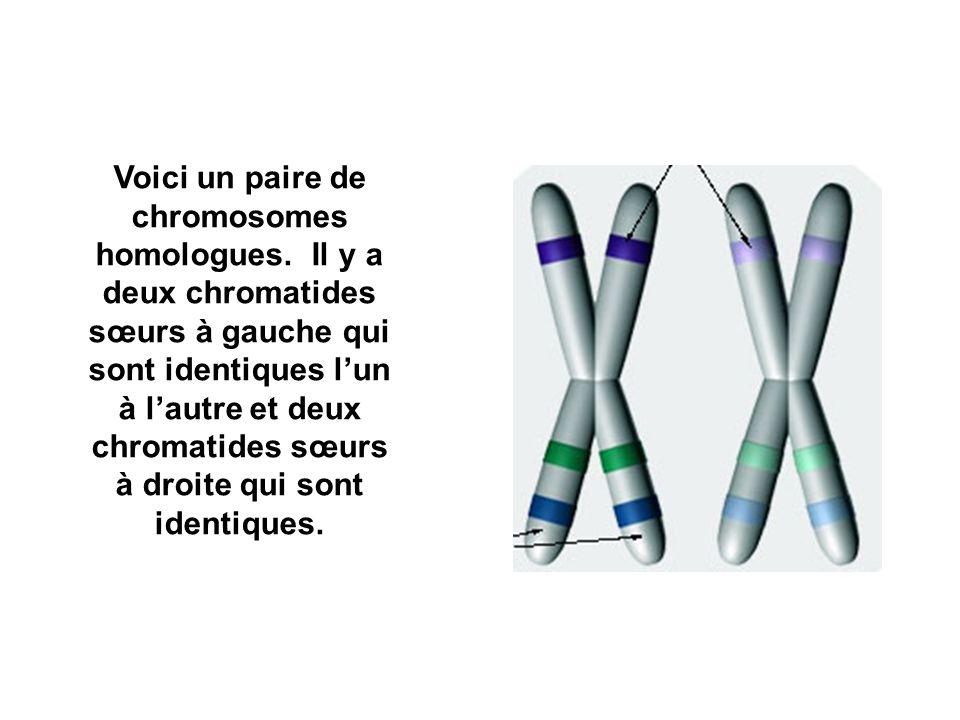 Voici un paire de chromosomes homologues.