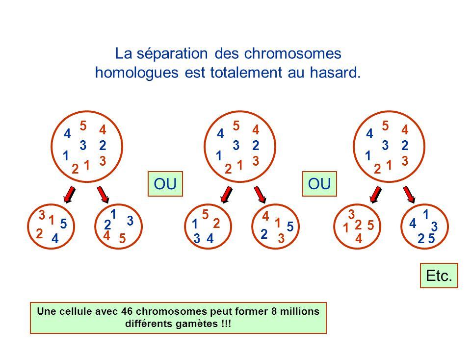 3 3 5 5 1 1 4 4 1 23 4 5 3 1 4 2 2 2 La séparation des chromosomes homologues est totalement au hasard.