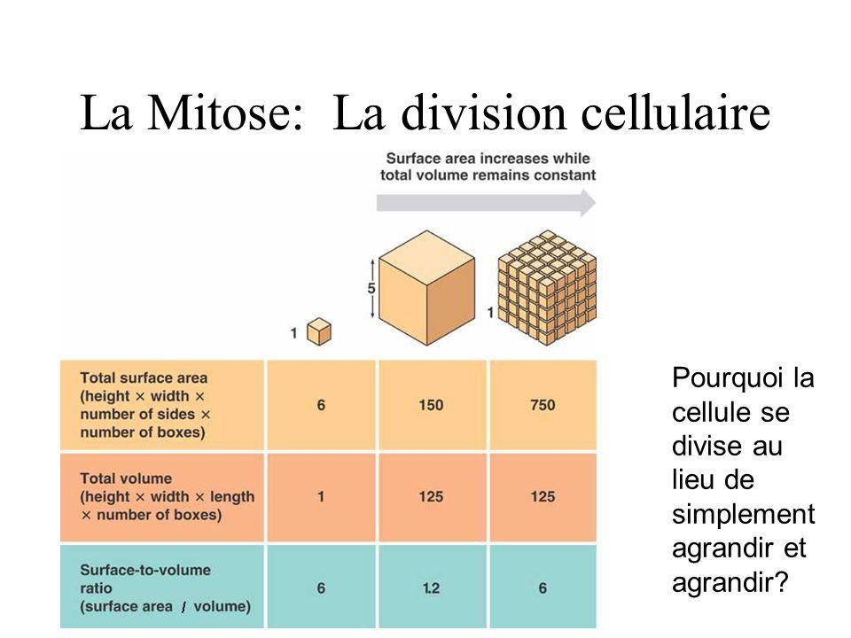La Mitose: La division cellulaire Pourquoi la cellule se divise au lieu de simplement agrandir et agrandir?