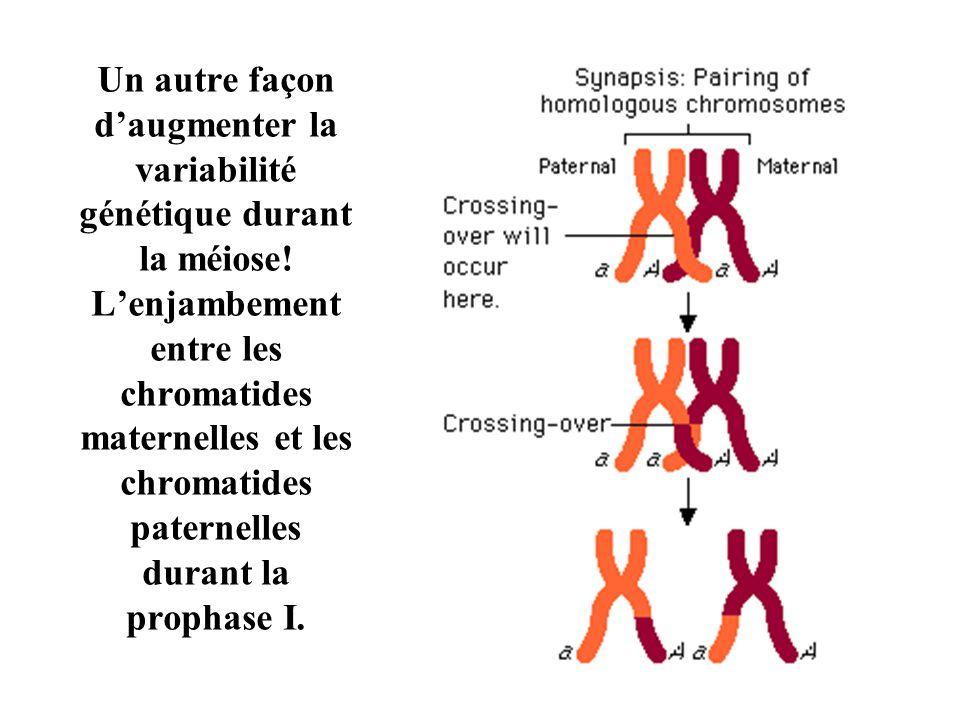 Un autre façon daugmenter la variabilité génétique durant la méiose.