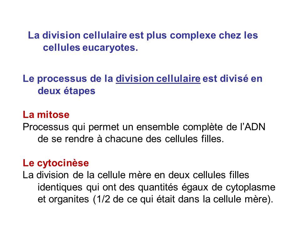 Surtout le Cycle cellulaire peut être divisé en deux grandes phases: 1) La division cellulaire (mitose + cytocinèse) et 2) linterphase.