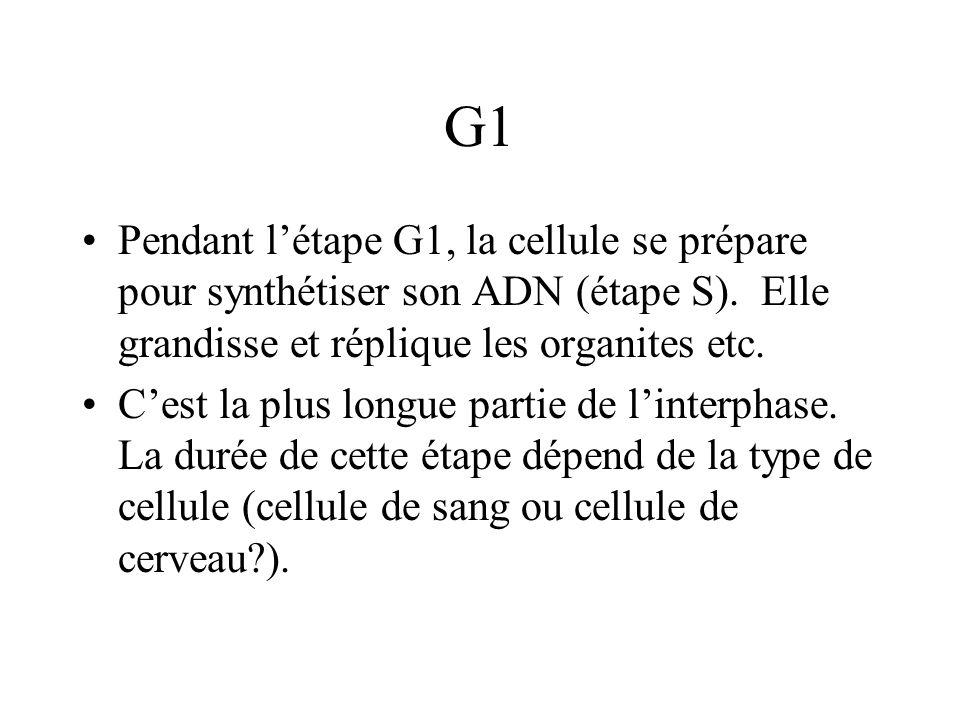 G1 Pendant létape G1, la cellule se prépare pour synthétiser son ADN (étape S).
